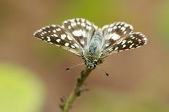 Изображение запятнанной агамы агамы Caprona бабочки угла стоковое изображение rf