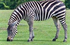 Изображение зебры есть траву на поле Стоковая Фотография RF