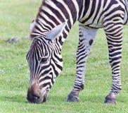 Изображение зебры есть траву на поле Стоковая Фотография
