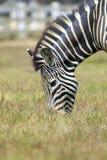 Изображение зебры есть траву на предпосылке природы Стоковое фото RF