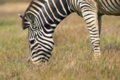 Изображение зебры есть траву на предпосылке природы Стоковое Изображение