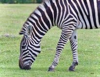 изображение зебры есть траву Стоковое Изображение RF
