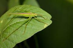 Изображение зеленого кузнечика на зеленых листьях насекомое Стоковые Фотографии RF