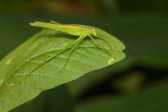 Изображение зеленого кузнечика Стоковые Изображения
