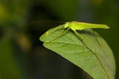 Изображение зеленого кузнечика Стоковые Фото