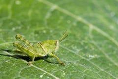 Изображение зеленого маленького кузнечика на зеленых лист насекомое Стоковые Фотографии RF