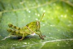 Изображение зеленого маленького кузнечика на зеленых лист Стоковое Изображение RF
