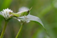 Изображение зеленой саранчи на зеленых листьях Животное насекомого Стоковые Изображения
