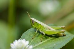 Изображение зеленой саранчи на зеленых листьях Животное насекомого Стоковые Изображения RF
