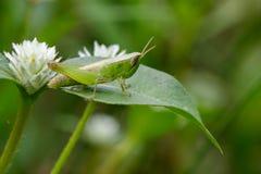 Изображение зеленой саранчи на зеленых листьях Животное насекомого Стоковое фото RF
