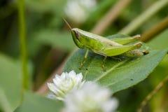 Изображение зеленой саранчи на зеленых листьях Животное насекомого Стоковое Фото