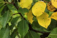 Изображение зеленых и желтых листьев на грушевом дерев дереве стоковая фотография rf
