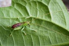 Изображение зеленого цвета сверчка на зеленых листьях насекомое Стоковое Изображение RF