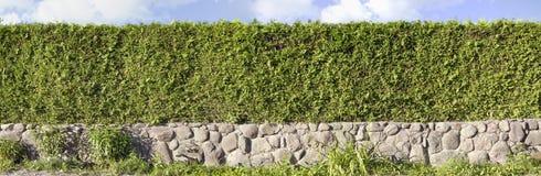 Изображение зеленых изгородей туи панорамное Стоковая Фотография
