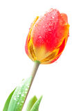 Изображение изолированного красного тюльпана Стоковые Фото