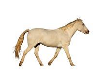 Изображение изолированное портретом большой скакать лошади Стоковое фото RF