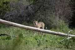 Изображение дикого животного саванны Ботсваны Африки гепарда; Стоковые Изображения RF