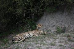 Изображение дикого животного саванны Ботсваны Африки гепарда; Стоковое фото RF