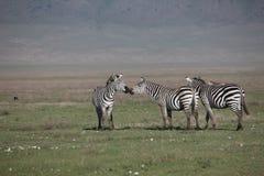 Изображение дикого животного саванны Ботсваны Африки зебры Стоковая Фотография