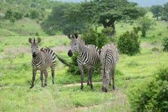 Изображение дикого животного саванны Ботсваны Африки зебры Стоковые Фото
