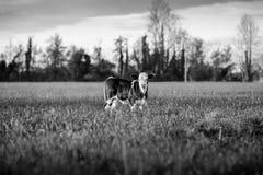 Изображение икры скотин черно-белое Стоковая Фотография