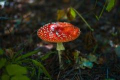 Изображение конца-вверх гриба мухомора в природе Стоковые Фото