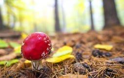 Изображение конца-вверх гриба мухомора ядовитого в лесе Стоковые Изображения RF