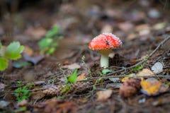 Изображение конца-вверх гриба мухомора ядовитого Стоковые Изображения