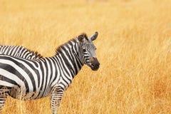 Изображение конца-вверх зебры стоя в высушенной траве Стоковая Фотография