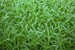 Зеленая дикая трава стоковое изображение rf