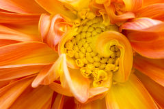 Изображение конца-вверх красивой оранжевой хризантемы Стоковые Изображения