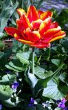 Изображение конца-вверх красного и желтого зацветая тюльпана Стоковое Изображение