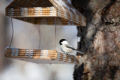 Изображение конца-вверх милой птицы синицы болота сидя в birdfeeder в лесе зимы на солнечный день стоковое изображение