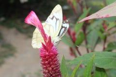 Изображение конца-вверх обнажанной пионерской бабочки белых или индийских каперсов белой отдыхая на розовых woolflowers цвета или стоковое изображение rf