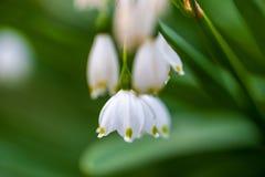 Изображение конца-вверх цветков колокола весны белых Селективный фокус, sh Стоковое Изображение