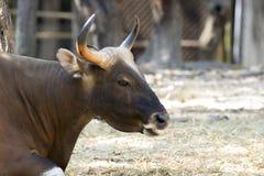 Изображение коричневого быка на предпосылке природы Стоковое Фото
