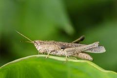 Изображение коричневого кузнечика на зеленых листьях Животное насекомого Стоковые Изображения