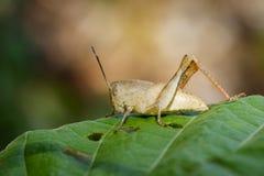 Изображение коричневого кузнечика на зеленых лист насекомое Стоковые Фотографии RF