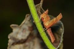 Изображение коричневого кузнечика на зеленых ветвях Животное насекомого Стоковое фото RF