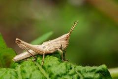 Изображение коричневого кузнечика на зеленых листьях Животное насекомого Стоковая Фотография RF