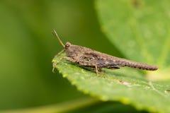 Изображение коричневого кузнечика на зеленых листьях Животное насекомого Стоковые Фотографии RF