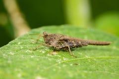Изображение коричневого кузнечика на зеленых листьях Животное насекомого Стоковое Фото