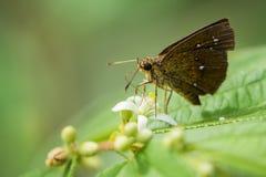 Изображение коричневой бабочки на лист на предпосылке природы Стоковые Фото