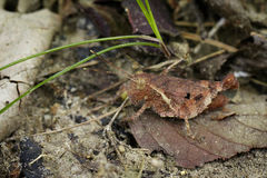 Изображение коричневых кузнечика & x28; Maejophrae Dawwrueng Anasedulia, s Стоковое Изображение RF