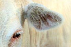 Изображение коровы глаза и уха Стоковые Изображения RF