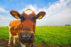 изображение коровы младенца смешное Стоковое Изображение
