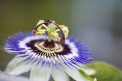Изображение красивого конца поднимающее вверх цветка страсти на лозе Стоковые Фото