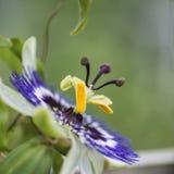 Изображение красивого конца поднимающее вверх цветка страсти на лозе Стоковая Фотография