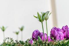 Изображение красивых белых и фиолетовых цветков тюльпана, съемки от мола Стоковые Фото