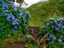 Изображение красивых зацветая гортензий в природе стоковое фото